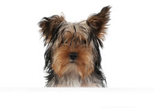 Yorkie portrait Stock Photo