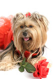 Yorkie Princess with Rose stock photo