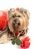 Yorkie Prinzessin mit Rose Stockfoto