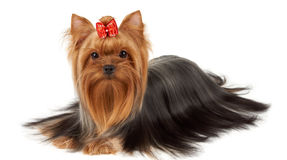 Yorkie with professionally groomed hair Stock Photography