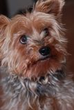 Yorkie Pup Royalty Free Stock Photos