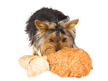 Yorkie pup with huge rawhide drumstick bone Royalty Free Stock Images