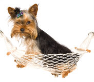 Yorkie pup inside mini hammock Stock Photo