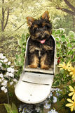 Yorkie Pup in a Mailbox Royalty Free Stock Image