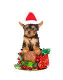 Yorkie pup with santa hat inside christmas cup Royalty Free Stock Images