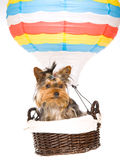 Yorkie pup sitting inside hot air balloon Stock Images