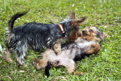 Yorkie Puppies Royalty Free Stock Image
