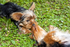 Yorkie Puppies Royalty Free Stock Photo