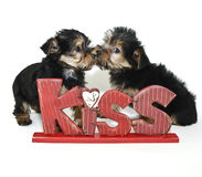 Yorkie Puppies Kissing Stock Photos