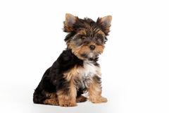 Yorkie puppy. On white background Stock Images
