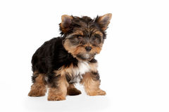 Yorkie puppy. On white background Royalty Free Stock Image