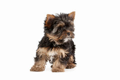 Yorkie puppy. On white background Stock Image