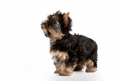 Yorkie puppy. On white background Royalty Free Stock Photos