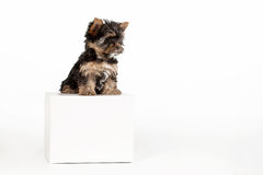 Yorkie puppy. On white background with box Stock Photos
