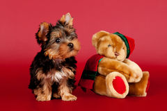Yorkie Puppy. Small Yorkie Puppy on dark red background with toy Royalty Free Stock Photos