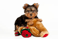 Yorkie puppy. On white background with toy Stock Image