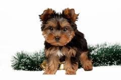 Yorkie puppy Stock Photos