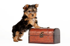 Yorkie puppy. On white background with chest Royalty Free Stock Image