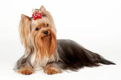 Yorkie puppy Royalty Free Stock Photo
