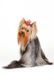 Yorkie puppy. On white background Royalty Free Stock Photography