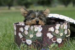 Yorkie puppy Stock Photo