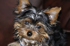 Yorkie Puppy. Smiling while sitting down Royalty Free Stock Images