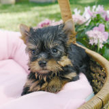 Yorkie puppy Royalty Free Stock Photos