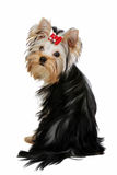 Yorkie puppy. On white background Royalty Free Stock Photo
