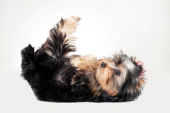 Yorkie puppy. On white gradient background Royalty Free Stock Images