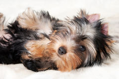 Yorkie puppy. On white gradient background Royalty Free Stock Photos
