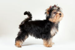 Yorkie puppy. On white gradient background Stock Image