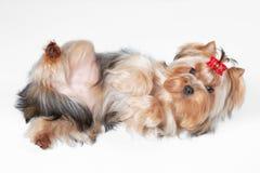 Yorkie puppy. On white gradient background stock photos