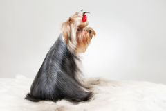Yorkie puppy. On white gradient background Royalty Free Stock Photo