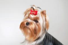 Yorkie puppy. On white gradient background stock photo