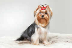 Yorkie puppy. On white gradient background Royalty Free Stock Photography