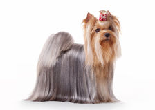 Yorkie puppy. On white gradient background Royalty Free Stock Image