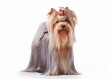 Yorkie puppy Stock Image