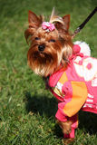 Yorkie puppy Stock Photo