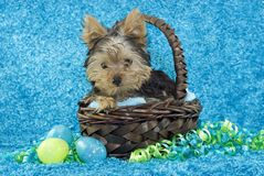 Yorkie Puppy in Basket with Easter Eggs Royalty Free Stock Image