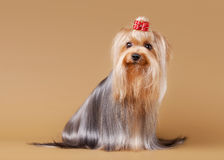 Yorkie puppy on brown Stock Images