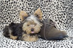Yorkie Puppy with Brown Shoe Stock Photography