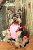 Yorkie puppy. A cute Yorkie puppy sitting on sofa Royalty Free Stock Photos