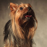Yorkie puppy dog with long coat standing with mouth open Stock Image