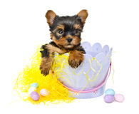 Yorkie Puppy in Easter Basket Stock Image