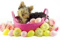 Yorkie Puppy in Pink Basket with Easter Eggs Royalty Free Stock Photography