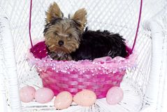 Yorkie Puppy in Pink Easter Basket Royalty Free Stock Photo