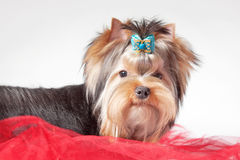 Yorkie puppy on red clothes. And white gradient background Royalty Free Stock Images