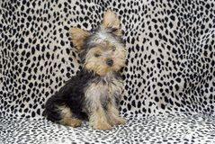 Yorkie Puppy Sitting Royalty Free Stock Images