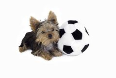 Yorkie Puppy with Soccer Ball Royalty Free Stock Image