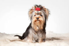 Yorkie puppy on table. Yorkie puppy on white gradient background Royalty Free Stock Photography